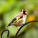 3rd June 2015    - Goldfinch  by pamknowler