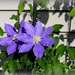 Clematis and Shadows by essiesue