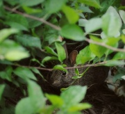 6th Jun 2015 - Peter Rabbit Hides from Mr. McGregor