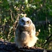 newly fledged great horned owlet by mjalkotzy