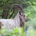 Billy Goat by dailydelight