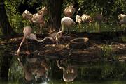 30th Jun 2016 - Flamingos