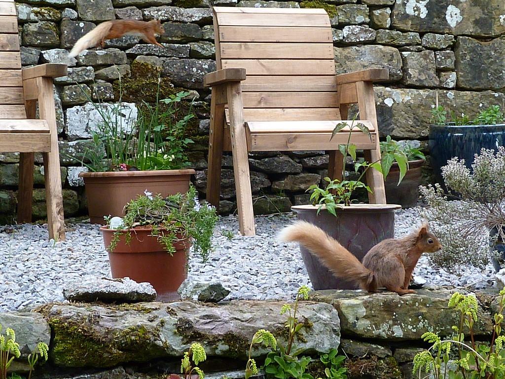 Flying squirrel  by shirleybankfarm
