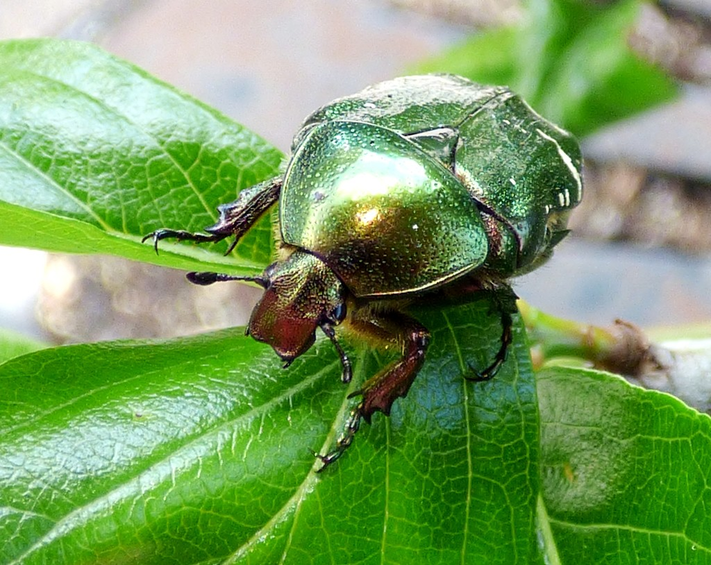 Rose Chafer beetle (Cetonia aurata) by julienne1
