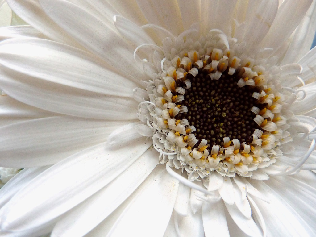 White Gerbera by phil_howcroft