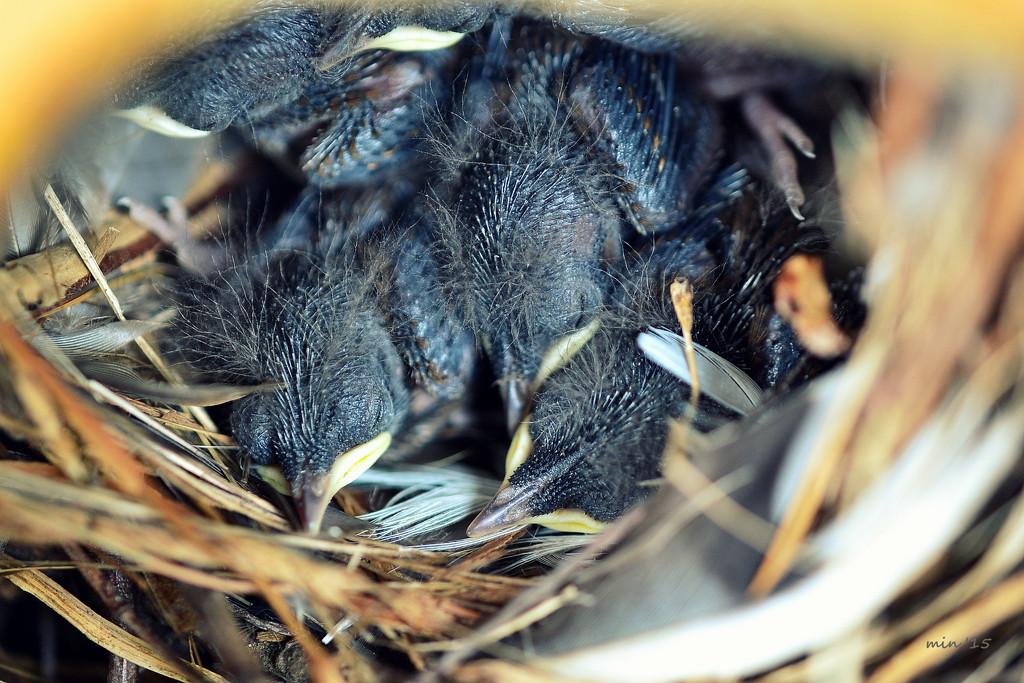 Week Old Wrens by mhei