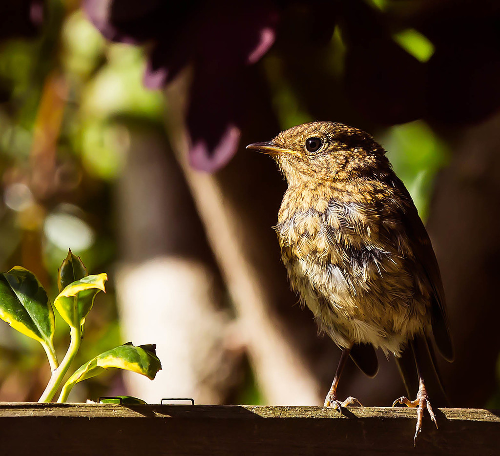 7th June 2015    - Baby Robin  by pamknowler
