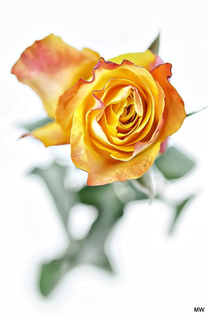 2015-06-07 a rose by mona65