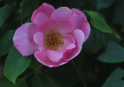 7th Jun 2015 - Pink Rose bush