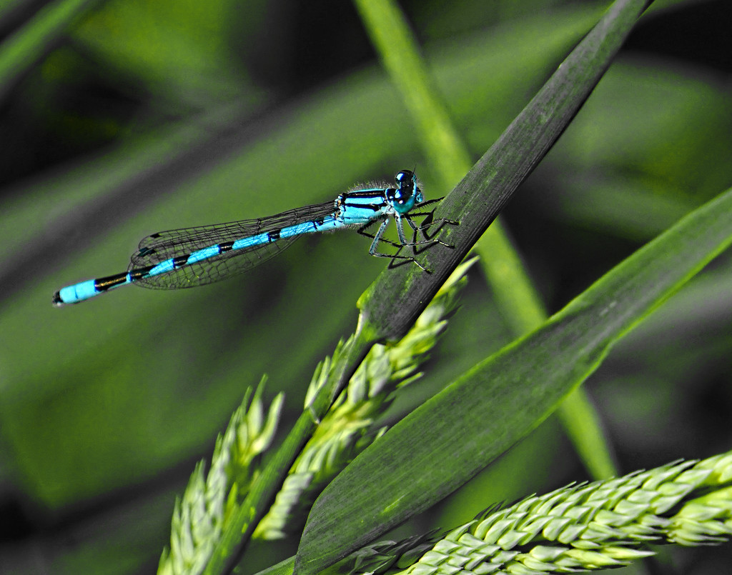 Damselfly by tosee