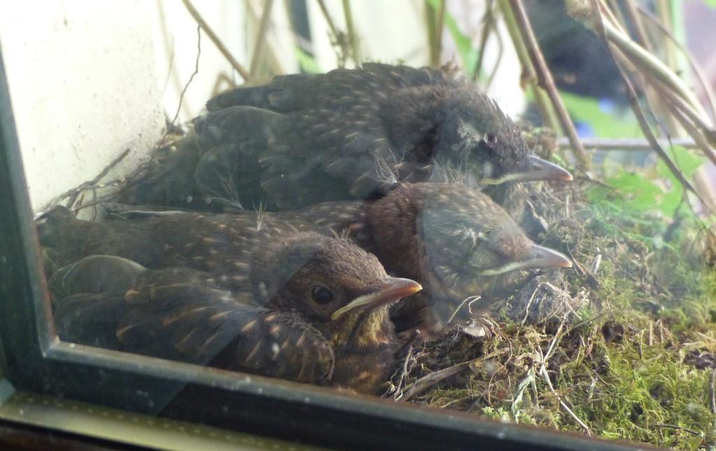 Baby Blackbirds on the Windowsill by susiemc