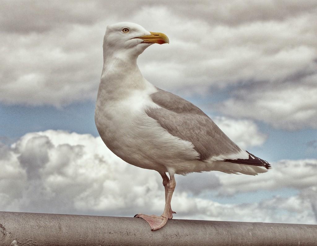 Seagull in profile by jack4john