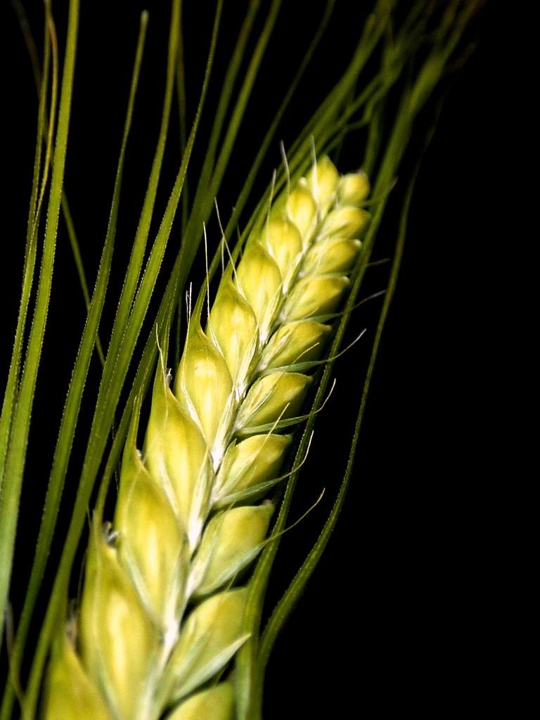 Ripening barley by julienne1