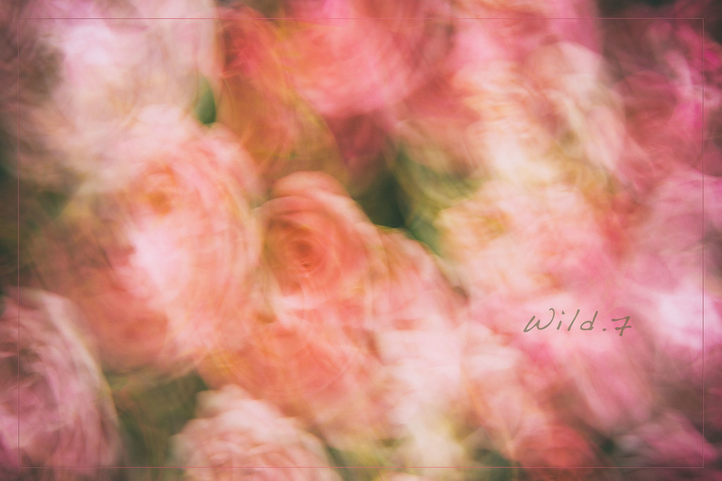 A Blur of Roses by lyndemc
