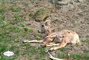 2nd Jun 2015 - Bighorn Sheep