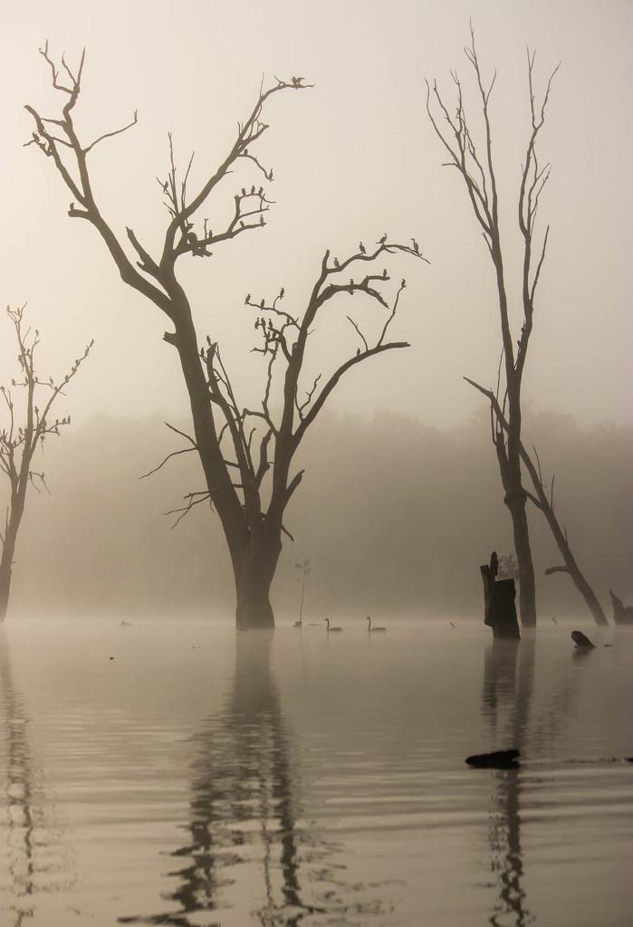 Swans in the fog by flyrobin