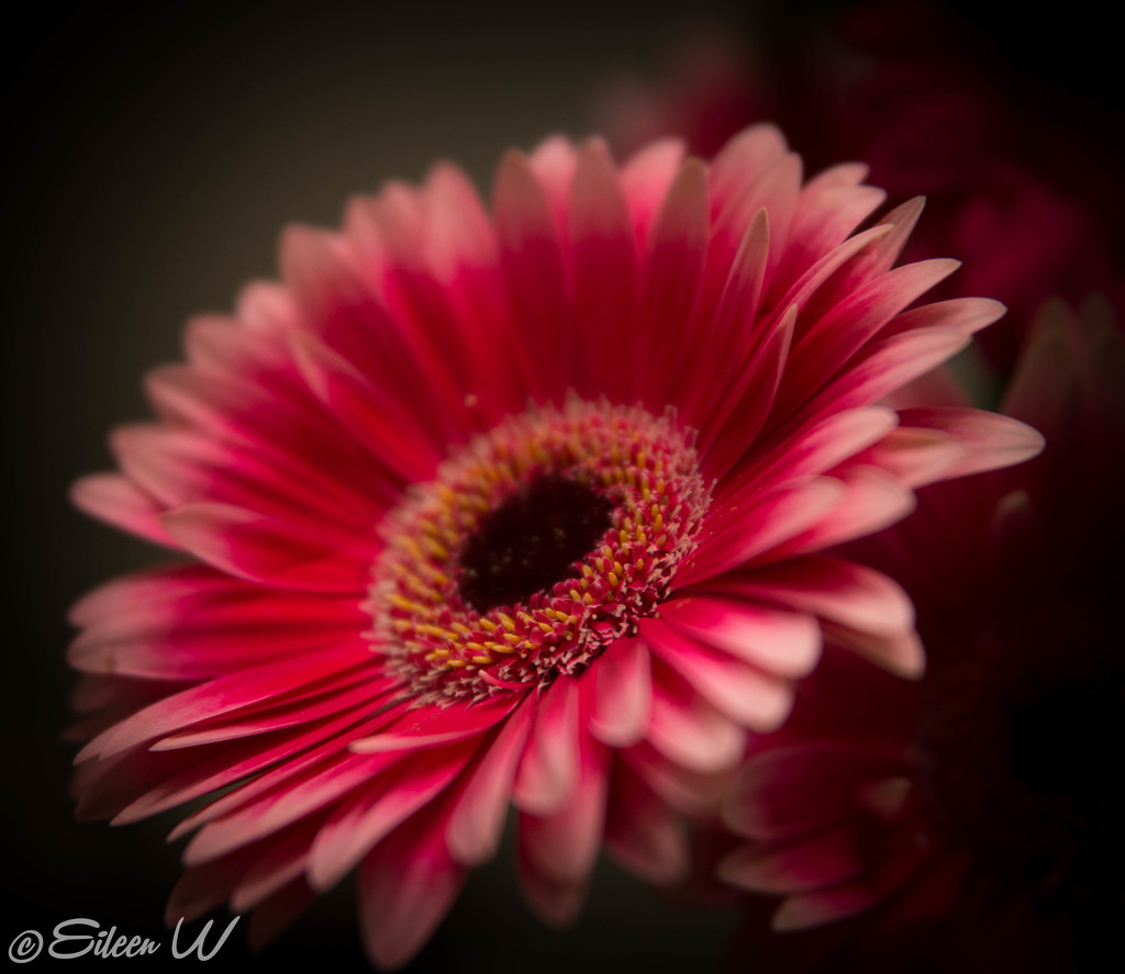 Pretty in pink by eileenw