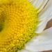 shasta daisy 30dayswild by jackies365
