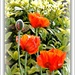 Poppies  by beryl