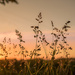 Weeds in the wheatfield at sundown... by vignouse