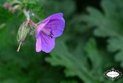 8th Jun 2015 - Purple Flower