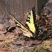 Tiger Swallowtail butterfly by congaree
