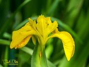 10th Jun 2015 - Wild Iris