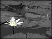10th Jun 2015 - Water Lily