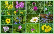 11th Jun 2015 - Wildflowers