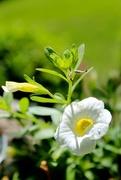 10th Jun 2015 - White Flower