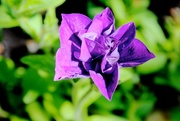 11th Jun 2015 - Purple Flower