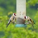 Goldfinches by susiemc