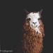 Drama Llama  by lesip
