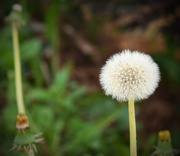 7th Jun 2015 - Dandelion