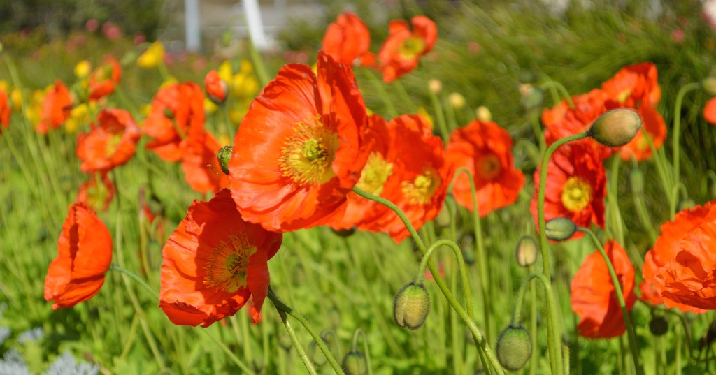 Tall Poppies by alinz
