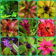 12th Jun 2015 - More Bromeliads after the rain.