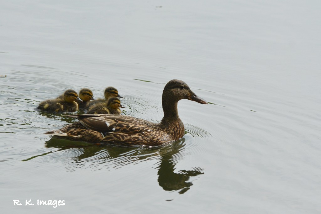 The duck family by rosiekind