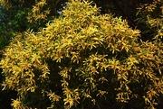 13th Jun 2015 - Our beautiful Australian Wattle Tree....
