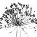 2015 06 13 - Allium by pixiemac