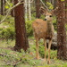 Young Mule Deer Buck by fntngrma