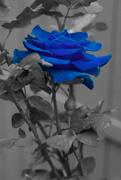 13th Jun 2015 - (Day 120) - The Elusive Blue Rose