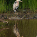 Heron Reflection by shesnapped