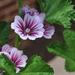 Purple Geranium by loweygrace