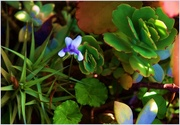 16th Jun 2015 - One lonely Violet...