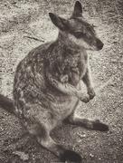 16th Jun 2015 - Rock  Wallaby