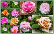 16th Jun 2015 - Roses All The Way
