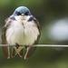 tree swallow by mjalkotzy