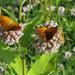 Butterflies by mittens