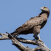 Brown Snake Eagle by salza