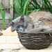 2015 06 17 - Cat in a hat, Nope, cat in a basket!!! by pixiemac